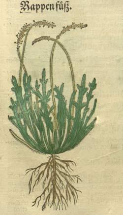 Hirschhornwegerich oder 'Rappenfuß', Abbildung aus dem Kreüter Buch von HIeronymus Bock, 1546