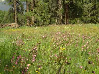 Wiese voller Wildblumen im Engadin (Foto © T. Stone)