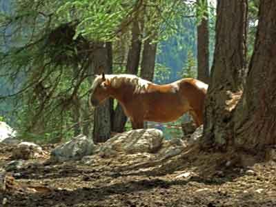 Wie aus 'Herr der Ringe' entsprungen: Haflinger im Engadin (Foto © T. Stone)