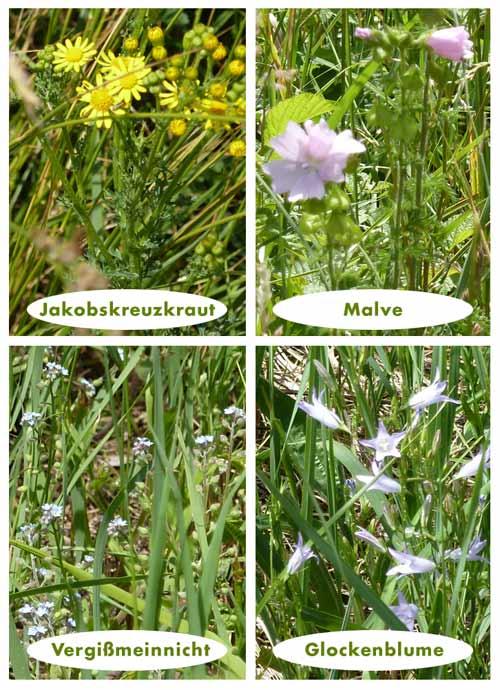 Jakobskreuzkraut, Malven, Vergißmeinnicht und Glockenblumen blühen im Juni in meinem Garten