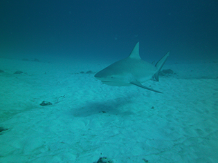 Bullenhai vor Playa del Carmen ©tst